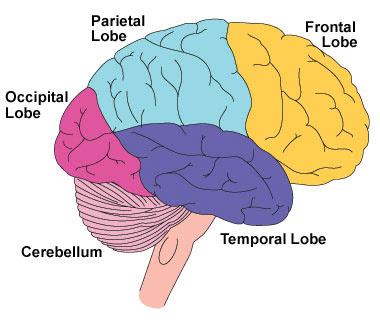 In cerebrum five lobes are
